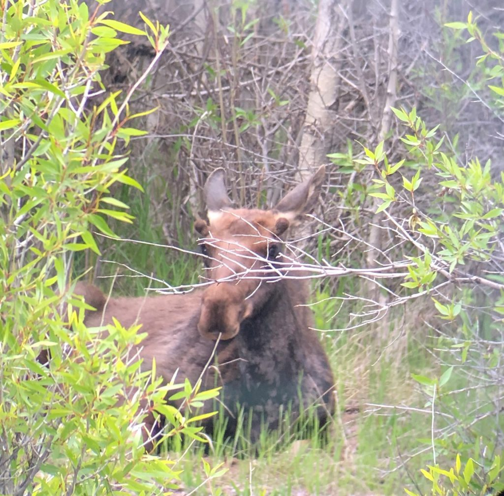 A yearling moose resting near the Gros Ventre River in Grand Teton National Park