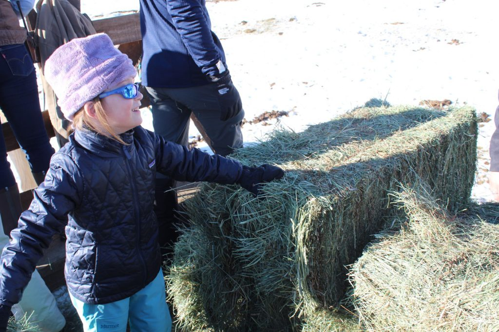 Adelyn Field tossing hay to the quarter horse herd from back of a horse-drawn wagon at feeding time - Vista Verde Ranch