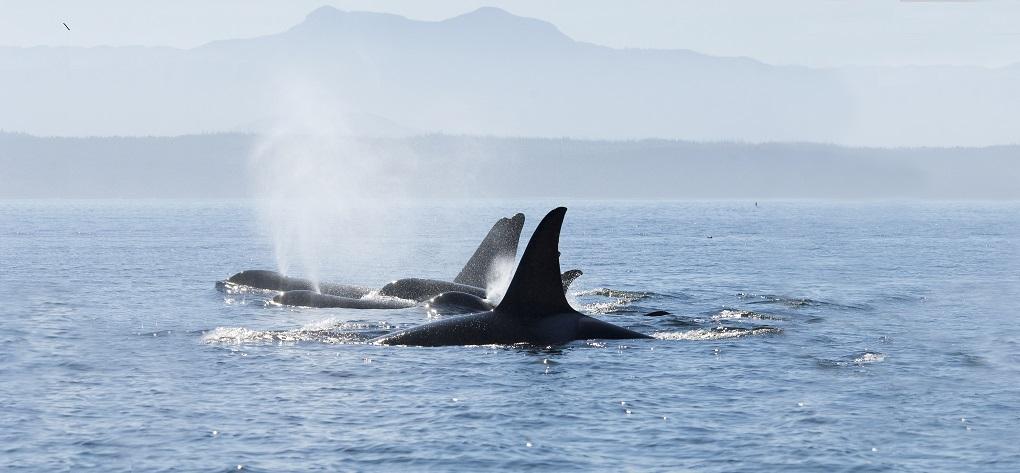 Backs & fins of Orca whales, San Juan Islands