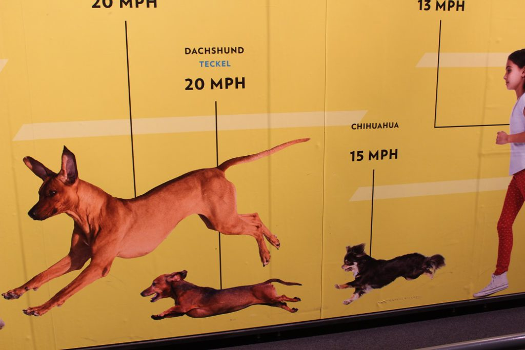 Are you faster than a chihuahua? At the Denver Museum of Nature and Science