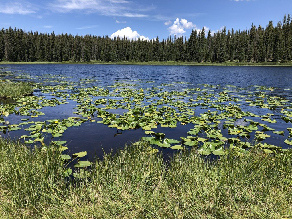 Lilly pads on Lily Lake