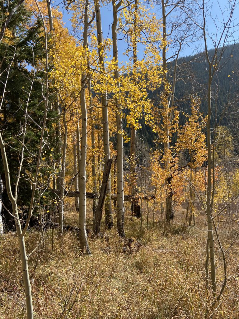 Aspens losing their brilliant fall colors as winter approaches