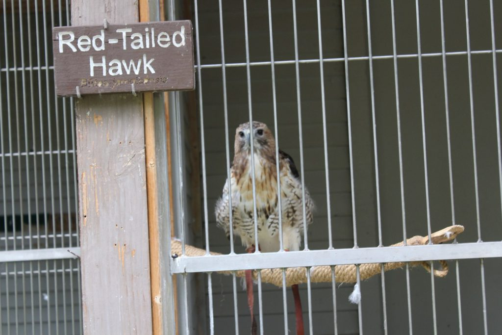 Rescued Hawk at ACES in Aspen