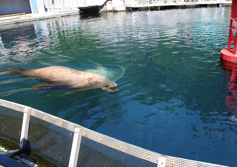 The rescued blind sea lion Señor Cinco at Vancouver Aquarium