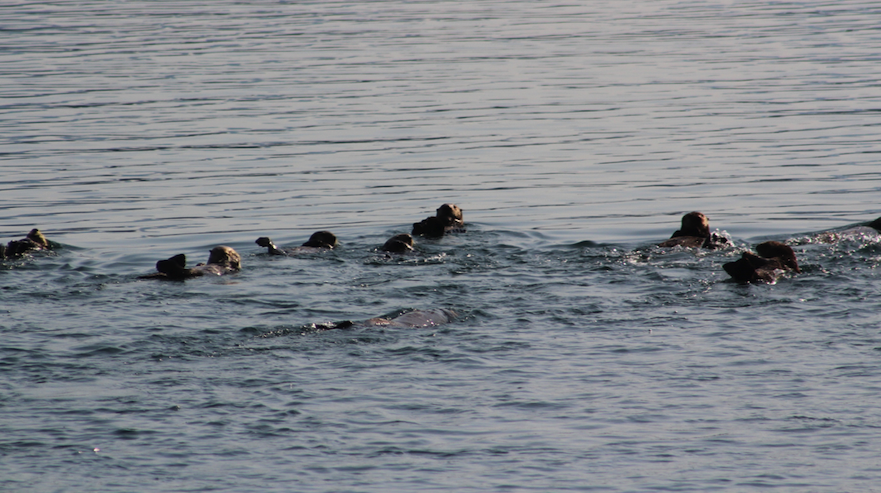 A raft of Sea Otters near Sitka