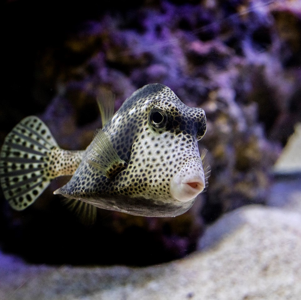 Spotted Trunkfish, Lactophrys bicaudalis at Shedd Aquarium