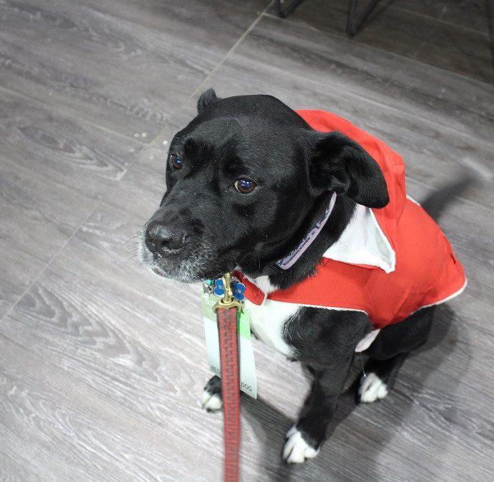 A handsome, lightweight rain jacket for your super dog!